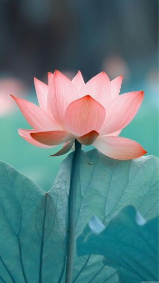 230989607-lotus-flower-backgrounds