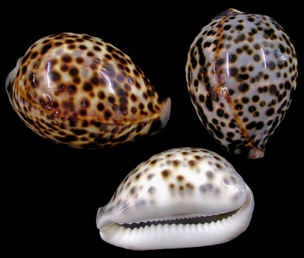 cowry-shell2